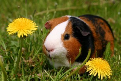 about guinea pigs