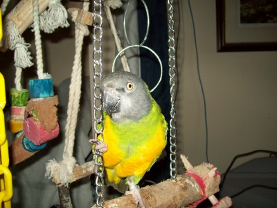 Jasper, my pet parrot