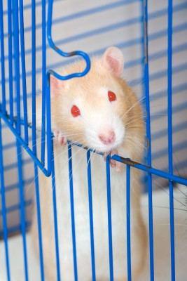best pets for kids rat